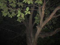 Inilah pohon benda, yang disebut-sebut sebagai pohon terbesar di kuburan Jeruk Purut dan diyakini banyak mahluk halus di sini. Menurut Babe Oo'k, wisatawan yang uji nyali di sini tak pernah tahan sampai 10 menit (Afif/detikTravel)