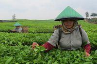 Perempuan pemetik teh menjadi pemandangan di kebun teh Tobasari. Pemandangan kebun teh yang menghampar hijau ala Puncak atau Lembang, ada juga di Tobasari, Kabupaten Simalungun, Sumut (Fitraya/detikTravel)