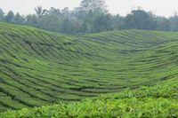 Kebun teh terlihat sejauh mata memandang di Desa Sarimattin, Kecamatan Pematang Sidamanik, Kabupaten Simalungun. Konturnya perbukitannya memang lebih landai daripada kebun teh Gunung Mas di Puncak, Bogor (Fitraya/detikTravel)