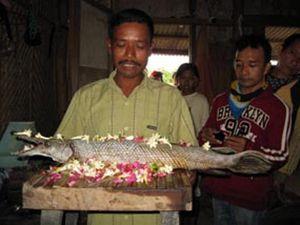 Bobot Ikan Aligator yang Ditemukan di Waduk Jatiluhur Mencapai 60 Kg