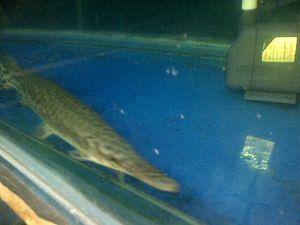 Dikoleksi Pejabat, Ikan Aligator Laris Terjual Hingga Rp 3 Juta Per Ekor