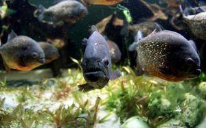 Selain Ikan Aligator, Ikan Piranha Juga Laris di Pasaran