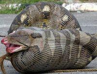 Ular-ular yang Memangsa Hewan yang Berukuran Lebih Besar