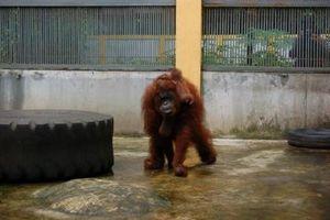 Hore! Bayi Orangutan Kalimantan Lahir di TMR Ragunan