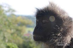 Monyet Bisa Bergaya Meditasi