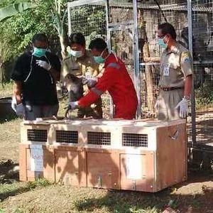 Eks Sarimin Dilepas ke Hutan Cikepuh Sukabumi