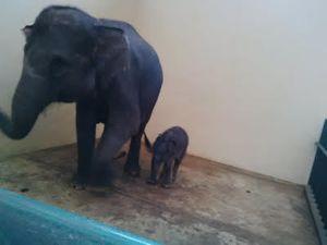 Jokowi Jadi Nama Bayi Gajah yang Lahir di Taman Safari Bogor