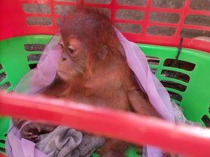 Bayi Orangutan ini Dibanderol Rp 50 Juta oleh Pedagang Satwa di Facebook