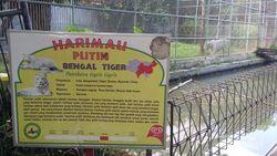 Bertemu Harimau Putih di Surabaya