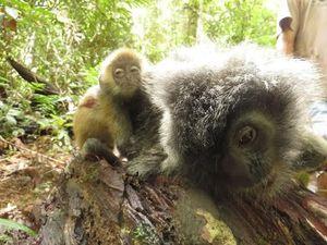 Dor! Senapan Pemburu Liar Tewaskan Lutung Perak di Hutan Kalbar