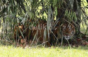 Harimau Nyasar ke Dekat Pasar di Tanggamus Lampung, Warga Kaget