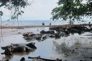 Yang Beda di Dompu, Kerbau Berkubang di Pinggir Pantai