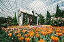 Belanda? Bukan, 75.000 Tulip Ini Mekar di Singapura