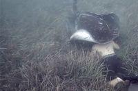 Digigit Ikan Pari, Penyelam Ini Malah Kegirangan