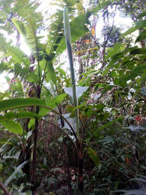 Pohon-pohon Mujarab di Kinabalu Botanical Garden