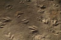 Museum di AS Simpan Jejak Kaki Dinosaurus, Asli!