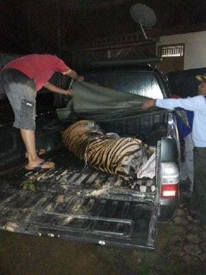 Harimau Sumatera Mati Terlilit Kawat Jeratan Babi di Sumbar