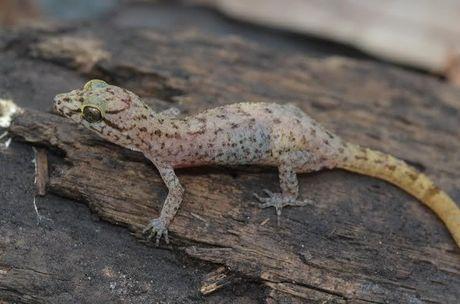 Ini 6 Spesies Baru Ditemukan di Tambora: Cicak Hutan hingga Kupu-kupu Malam - 3