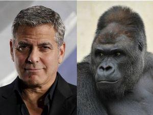 Dinilai Mirip George Clooney, Gorila Ini Buat Perempuan Jepang Tergila-gila