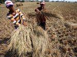 Ratusan Hektar Sawah di Bekasi Gagal Panen