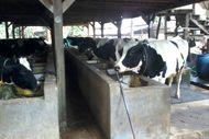 Minum Susu Sapi & Kambing Murni di Depok, di Sini Tempatnya!