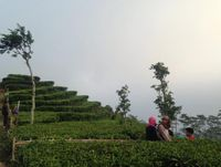 Menikmati Segarnya Kebun Teh Nglinggo di Kulon Progo