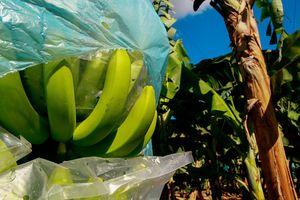Populasi Pisang Cavendish Terancam Punah Akibat Penyakit Jamur