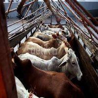 Australia Punya Kapal Ternak 139 Tahun Lalu, RI Belum