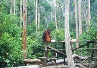 Bertamu ke Rumah Orangutan di Tanjung Puting, Kalimantan
