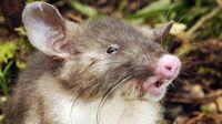 Tim Ilmuwan Temukan Spesies Tikus Baru di Sulawesi
