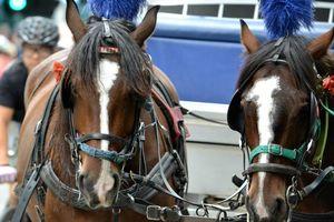 Aktivis Binatang Desak Pelarangan Kereta Kuda di Melbourne