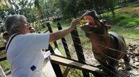 Kuda Nil Berkeliaran di Desa di Kolombia