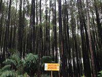 Hutan Pinus yang Fotogenik di Bantul