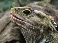 Bukan Komodo, Ini Kadal dari Zaman Dinosaurus di Selandia Baru