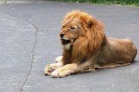 Kenapa Singa & Macan Taman Safari Tak Memangsa Hewan Lain?