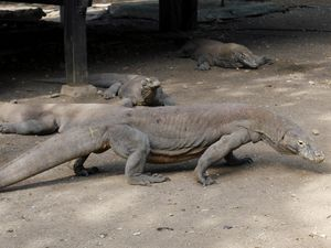 Begini Rasanya Bertemu Komodo di Pulau Rinca