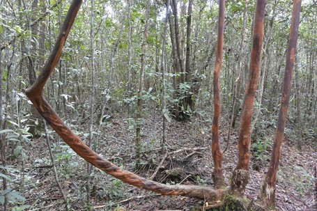 Hutan Unik Di Pelawan Punya Madu Dan Jamur Berharga Jutaan Rupiah