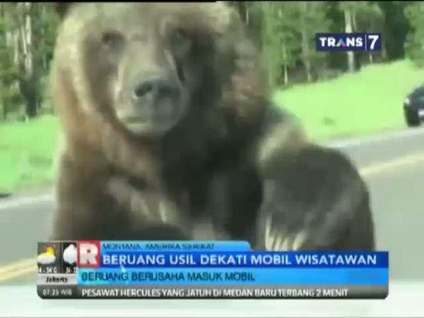 Beruang Usil Dekati Mobil Wisatawan