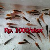 Jual Ikan Koi Murah Berkualitas