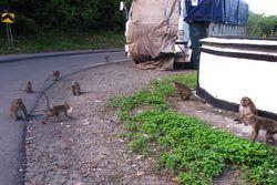 Bertemu Monyet Liar di Jalan Lintas Sumbawa