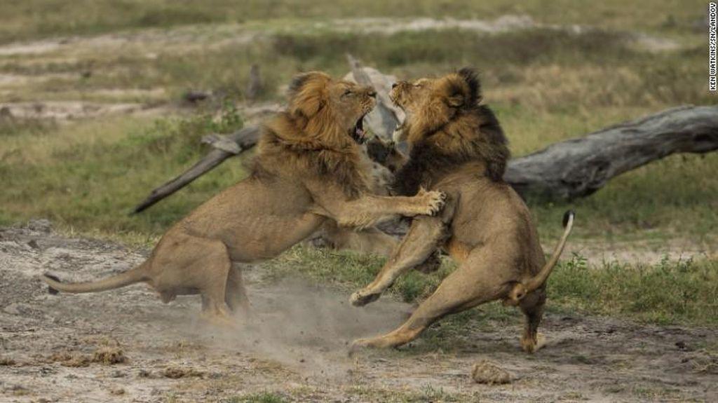 Singa Jericho 'Adik Cecil' Dilaporkan Juga Dibunuh di Zimbabwe