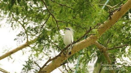 Kicau Sedih Jalak Bali, Burung Fantastis Yang Hampir Punah