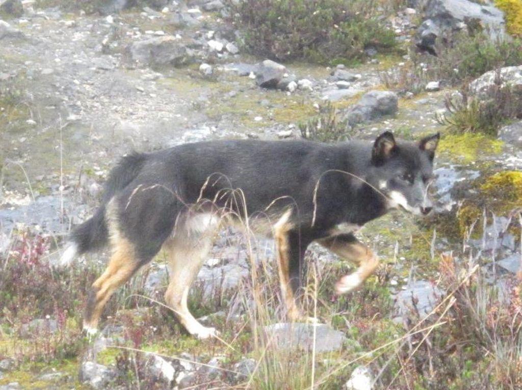 Dingo & Dingiso, Hewan Papua yang Jarang Orang Lihat
