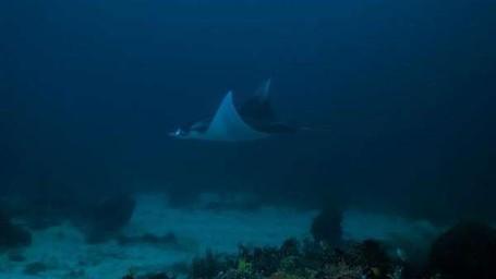 Pari Manta, Primadona Bawah Laut Indonesia