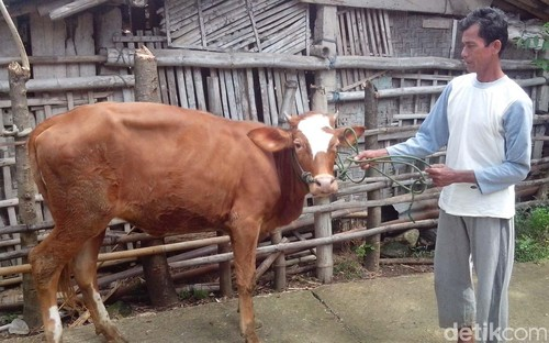 Pemerintah Minta Harga Daging Rp 80.000/Kg, Peternak di Bantul: Kita Rugi