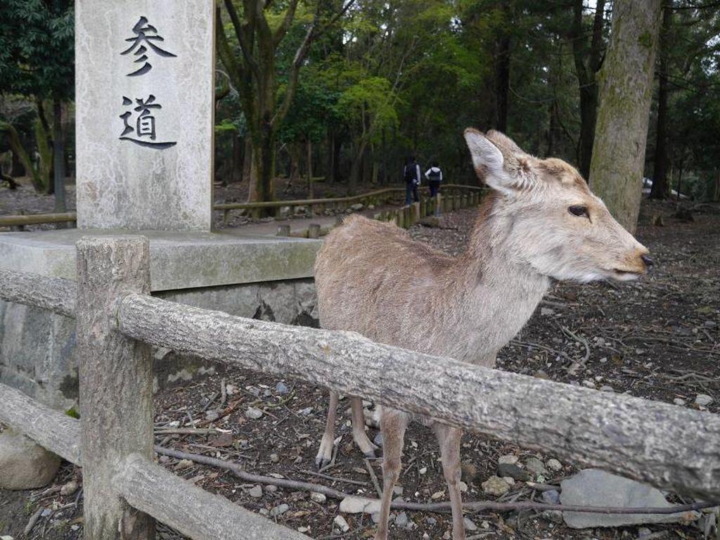 Ini Dia 'Kerajaan Rusa' di Jepang