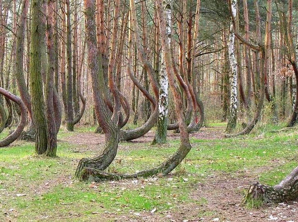 Ada Hutan Penuh Pohon Bengkok Nan Misterius di Polandia