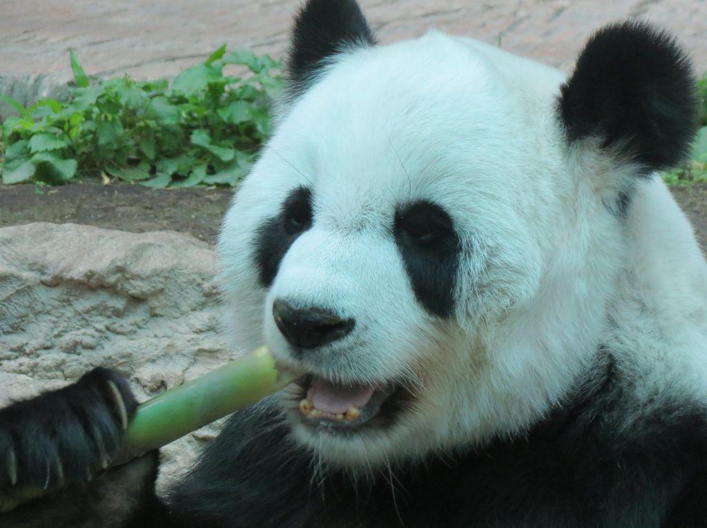 Ketika Panda Ada di Thailand