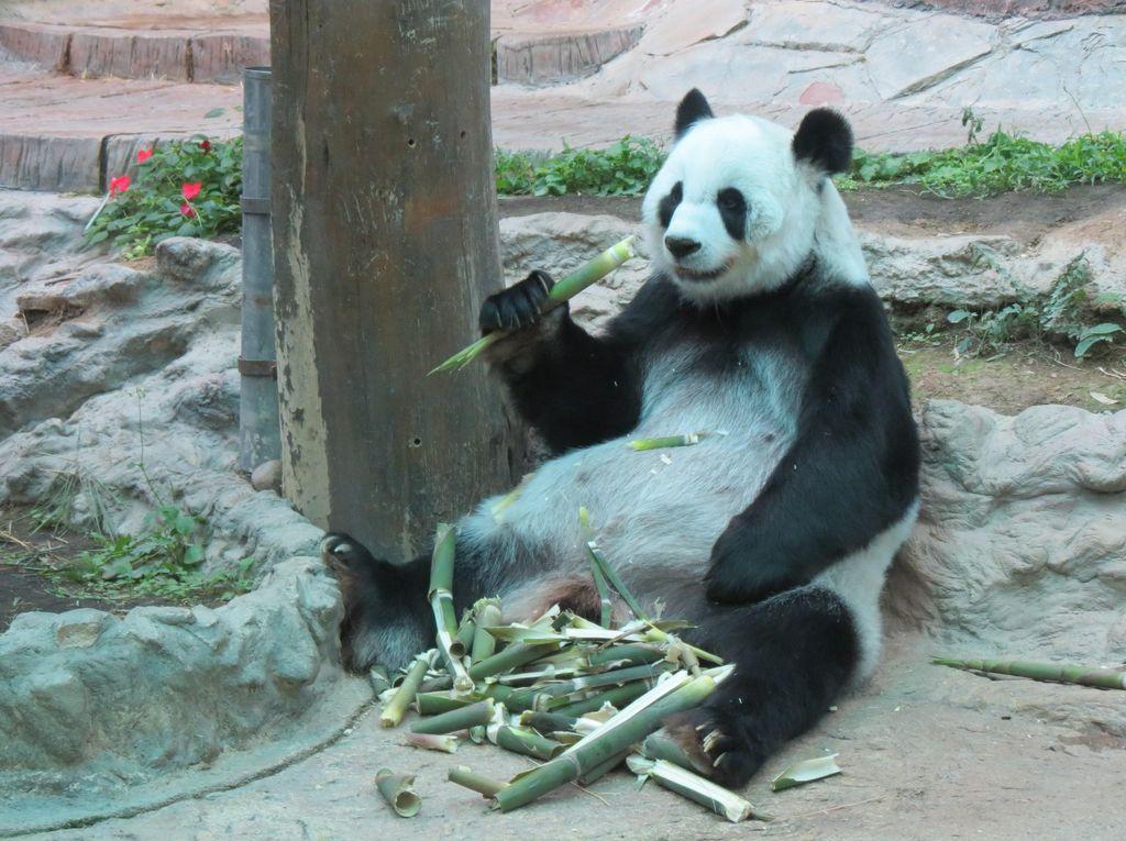 Ada Panda, Tapi di Thailand