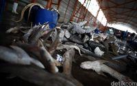 Maraknya Perdagangan Ikan Hiu di TPI Karang Song